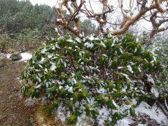 稜線上のシャクナゲに雪