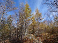 登山道の色づいたカラマツ林