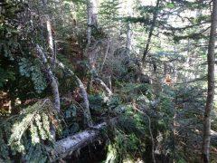 登山道の倒木